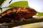 Panther chameleon (Furcifer pardalis) [madagascar_herps_0103]