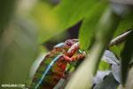 Panther chameleon (Furcifer pardalis) [madagascar_herps_0109]