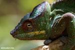 Panther chameleon (Furcifer pardalis) [madagascar_herps_0115]