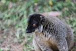Male Common brown lemur (Eulemur fulvus) [madagascar_lemurs_0045]