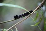 Caterpillar [madagascar_maroantsetra_0050]