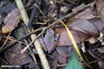 Frog [madagascar_maroantsetra_0103]