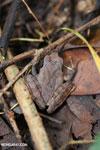 Frog [madagascar_maroantsetra_0104]