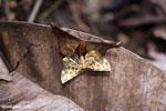Moth [madagascar_maroantsetra_0107]