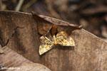 Moth [madagascar_maroantsetra_0108]