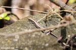 Zonosaurus madagascarensis lizard