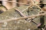 Madagascar plated lizard (Zonosaurus madagascarensis)