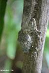Giant leaf-tailed gecko, Uroplatus fimbriatus [madagascar_maroantsetra_0197]