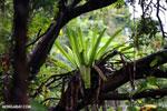 Birdnest fern [madagascar_masoala_0045]