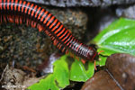 Red millipede [madagascar_masoala_0129]
