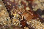 Frog [madagascar_masoala_0143]