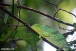 Parson's chameleon [madagascar_masoala_0150]