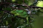 Parson's chameleon [madagascar_masoala_0151]
