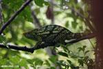 Parson's chameleon [madagascar_masoala_0163]