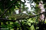 Parson's chameleon [madagascar_masoala_0172]