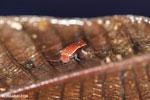 Plethodontohyla notosticta - brown frog with turquoise spots [madagascar_masoala_0202]