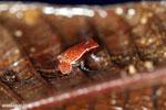 Plethodontohyla notosticta frog