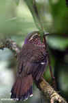 Short-legged Ground Roller (Brachypteracias leptosomus) [madagascar_masoala_0309]