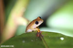 Frogs [madagascar_masoala_0392]