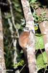 Scott's Sportive Lemur (Lepilemur scottorum) [madagascar_masoala_0456]