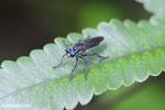 Blue-eyed fly [madagascar_masoala_0591]