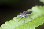 Blue-eyed fly [madagascar_masoala_0599]
