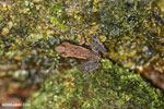 Frogs [madagascar_masoala_0610]