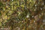 Gephyromantis webbi frog [madagascar_masoala_0613]