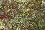 Gephyromantis webbi frog [madagascar_masoala_0617]