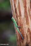 Speckled day gecko (Phelsuma guttata) [madagascar_masoala_0654]