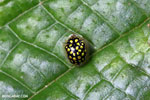 Black Tortoise beetle with yellow polkadots [madagascar_masoala_0659]