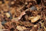 Plethodontohyla notosticta frog [madagascar_masoala_0765]