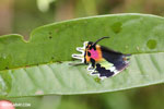 Brilliantly-colored wing of the Malagasy sunset moth (Chrysiridia rhipheus)
