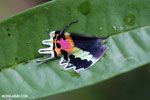 Neon-colored wing of the Malagasy sunset moth (Chrysiridia rhipheus)