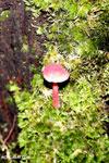 Red mushroom [madagascar_masoala_0798]