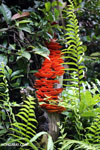 Glowing red-orange fungi in Madagascar