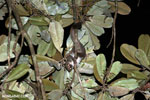 Greater dwarf lemur (Cheirogaleus major) [madagascar_masoala_0947]