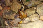 Plethodontohyla notosticta frog [madagascar_masoala_0963]