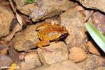 Plethodontohyla notosticta frog [madagascar_masoala_0964]
