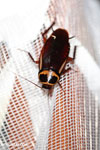 Giant cockroach in Madagascar [madagascar_masoala_0971]