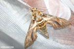 Giant moth [madagascar_masoala_0979]