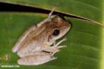 Frogs [madagascar_masoala_0994]