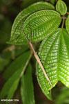 Stick insect [madagascar_masoala_1004]