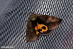 Madagascar moth with an orange mask-marking on its back [madagascar_masoala_1014]
