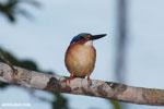 Madagascar kingfisher [madagascar_masoala_1050]
