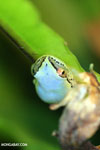 Powder Blue Reed Frog (Heterixalus madagascariensis)
