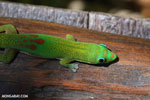 Gold dust day gecko (Phelsuma laticauda) on Nosy Komba, Madagascar