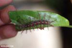 Yellow and pink caterpillar [madagascar_nosy_komba_0084]