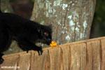 Male black lemur [madagascar_nosy_komba_0153]