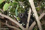 Male black lemur [madagascar_nosy_komba_0160]
